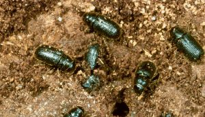 Close-up of beetles crawling in soil. A\J AlternativesJournal.ca