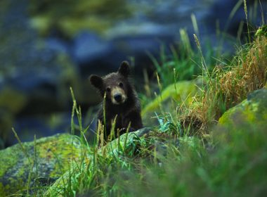 Black bear cub peaks out from behind some mossy rocks A\J AlternativesJournal.ca