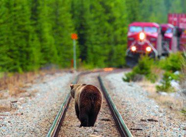A brown bear walking down train tracks towards a moving train A\J