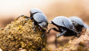 Close-up of dung beetles A\J AlternativesJournal.ca