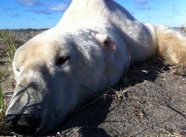 Polar Bear Brandon Laforest
