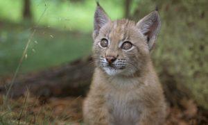 Baby balkan lynx. A\J AlternativesJournal.ca