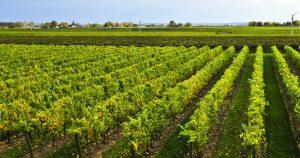 Niagara vineyard © Elenathewise - Fotolia