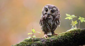 Tiny owl Fotolia_18360777© Megan Lorenz - Fotolia