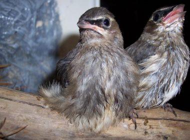 Baby birds on a branch. Alternatives Journal –A\J