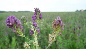 alfalfa GM A\J AlternativesJournal.ca