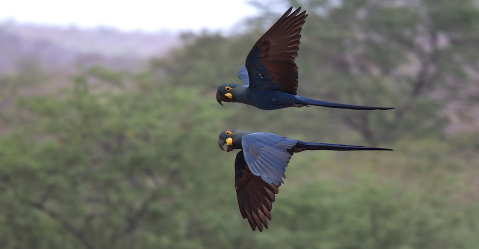 Two endangered Lear's Macaws in flight. Andy & Gill Swash. A\J.
