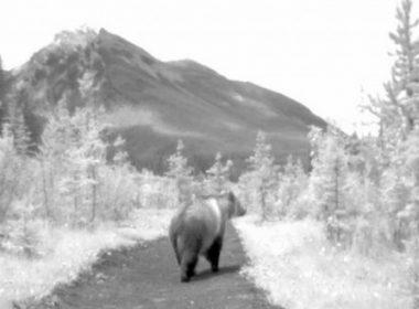 Bear 71 film review A\J AlternativesJournal.ca