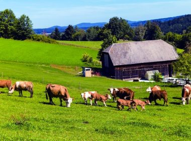 cows free-range veganism A\J AlternativesJournal.ca