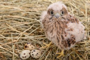 falcon chick endangered species act A\J AlternativesJournal.ca