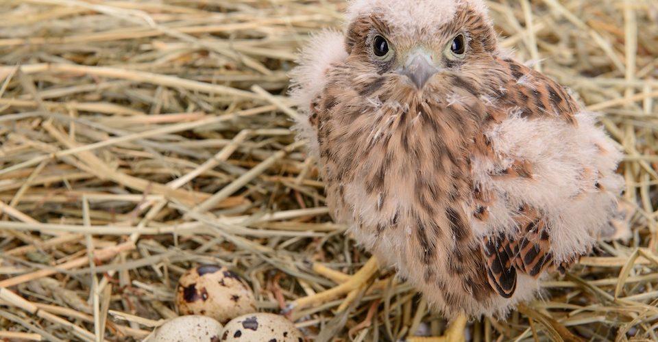 falcon chick endangered species act A\J AlternativesJournal.ca