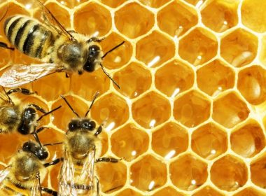Bees on honeycomb. Alternatives Journal. A\J.