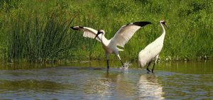 Whooping Cranes in captivity at the International Crane Foundation, Baraboo, WI.