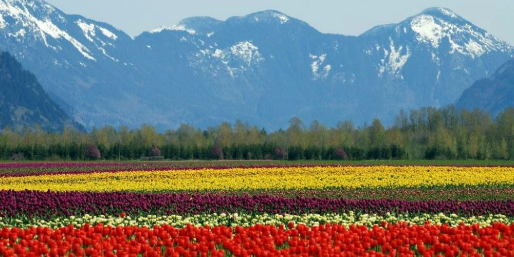 Tulips growing in the Fraser Valley in BC, Canada.
