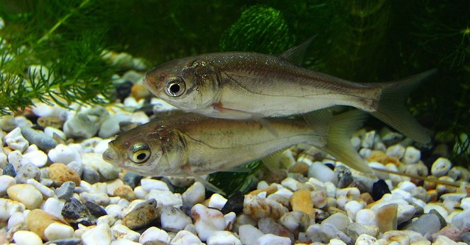 Juvenile silver carp, an invasive species in North American waterways.