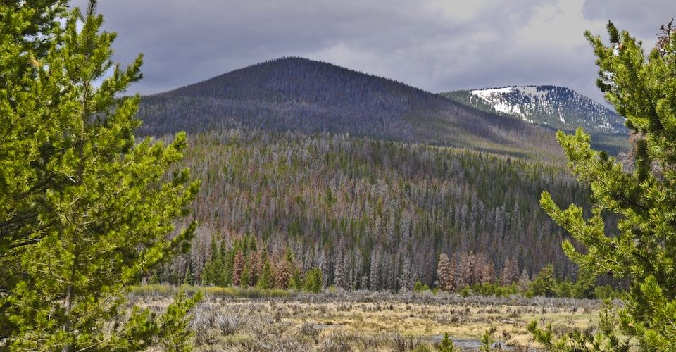 Colorado lodgepole pine forest destroyed by mountain pine beetle.