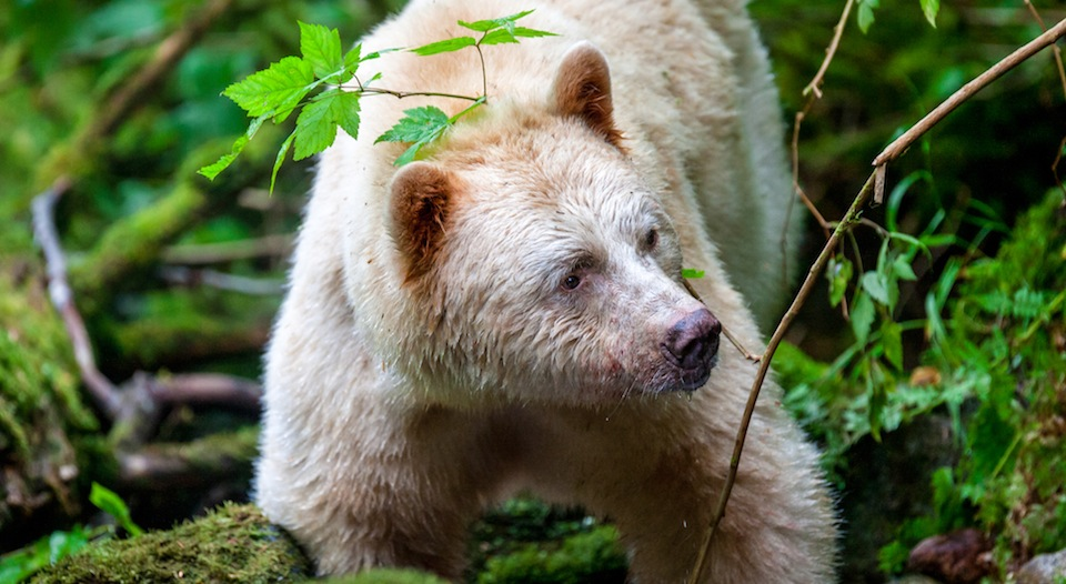 A spirit bear from BC's coast. Photo from CBC's Wild Canada on The Nature of Things.