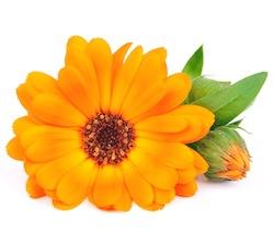 Calendula flower  © margo555 - Fotolia