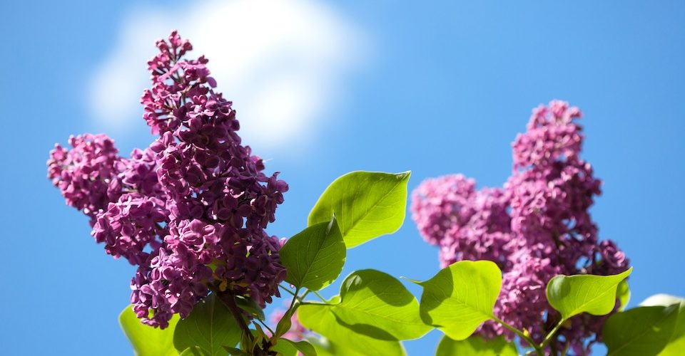 Common lilacs make great water-saving flowers for your garden