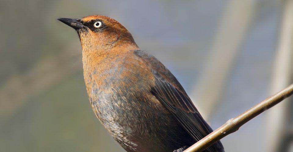 rusty_blackbird_Steve_Byland-Fotolia_57789209
