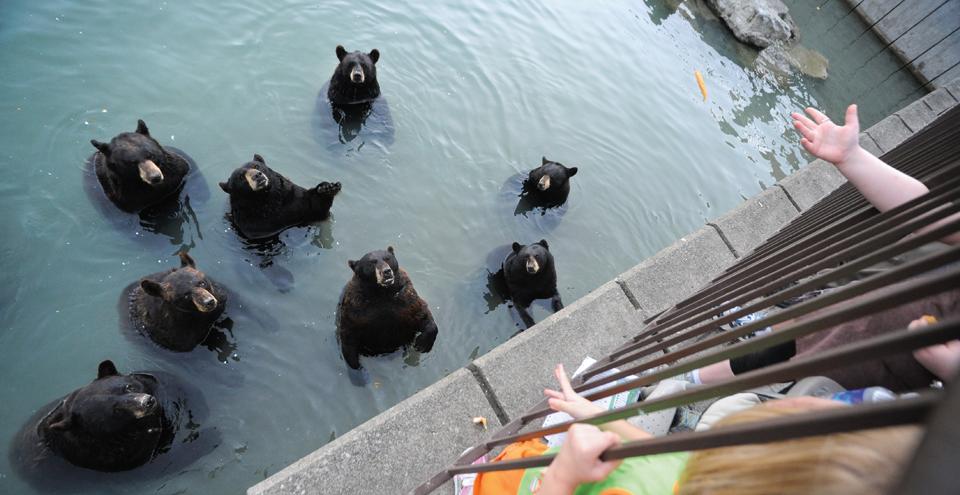North American Black Bears in captivity at Marineland, Ontario