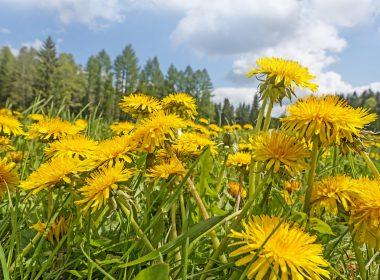 Dandelions in a field.
