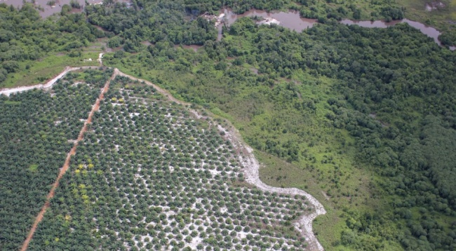 Palm oil plantation encroaching on forest in Central Kalimantan, Borneo, Indonesia
