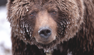 An ice-covered grizzly in the Yukon Territory.