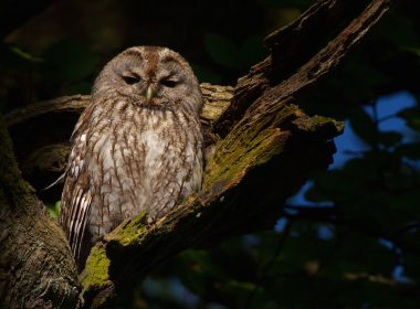 Brown tawny owl in a tree.