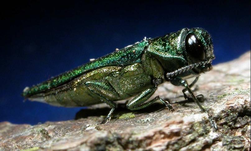 emerald ash borer USDA CC BY 20