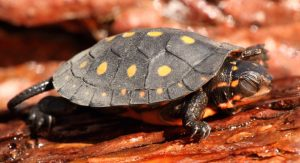 Spotted Turtle Fotolia_63557036_Subscription_Monthly_M