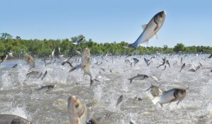 Invasive silver carp in Chain Lake