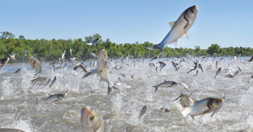 Invasive silver carp in Chain Lake