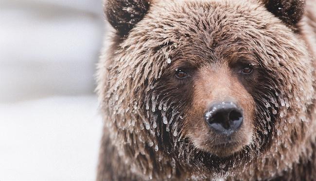 Wild Canada bear