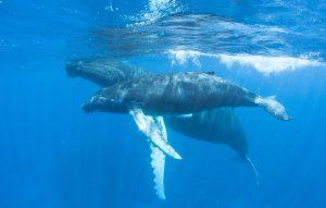 Humpback Mother and Calf via Fotolia