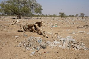 (Photo: a field of plastic and a dead cow outside Bikaner, India)
