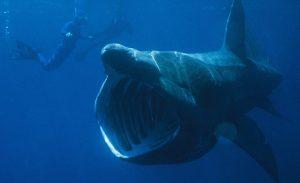 Basking Shark   Chris Gotschalk photo