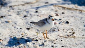 Piping Plover   ShutterGlow Photo