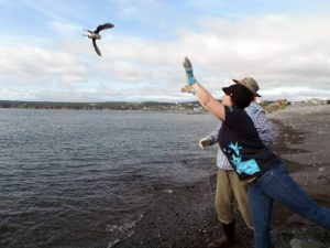 Volunteers release puffin fledglings off the coast of Newfoundland.