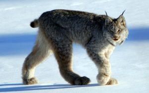 (Photo: a Canadian lynx walks through the snow)