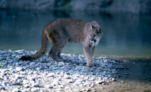 (Photo: a cougar stands on a riverbank)
