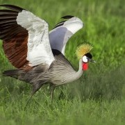 Grey Crowned Crane/ Photo by Shawn Olesen